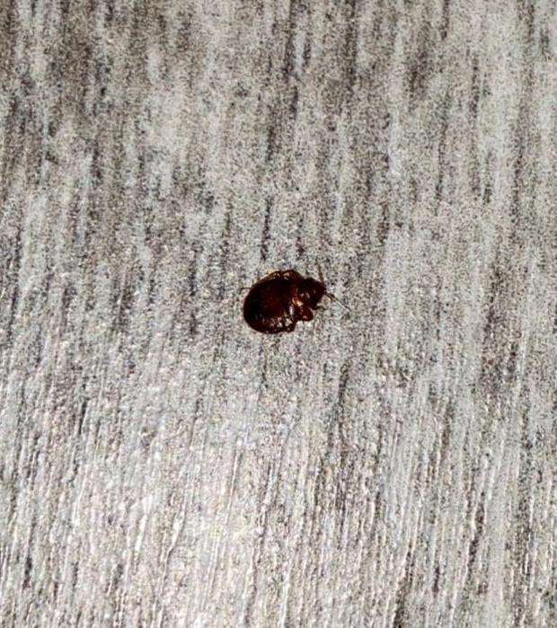Enfield Independent: A bed bug
