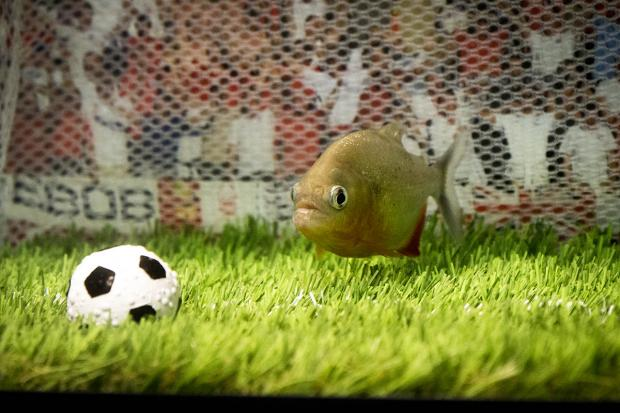 Pele the Piranha has gone with England to beat Uruguay tonight