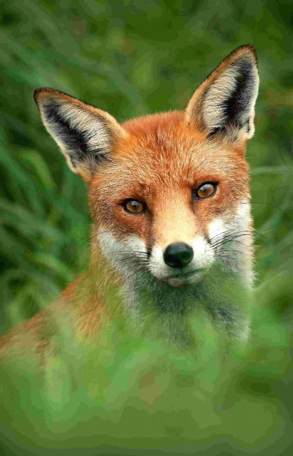 Trapping foxes is inhumane